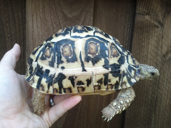 Smooth Leopard Tortoise