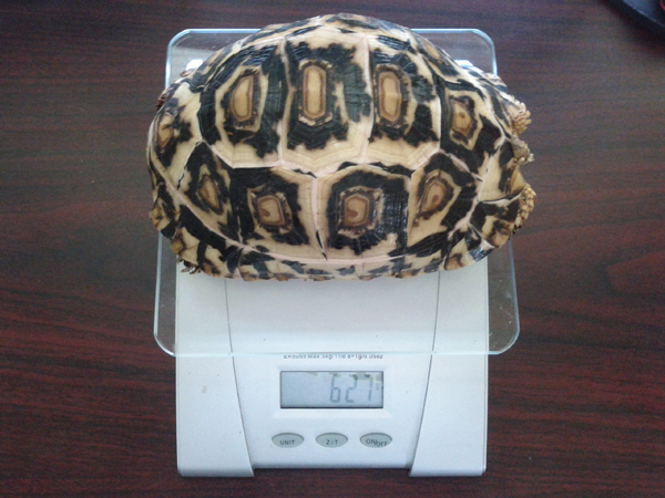 Leopard Tortoise Pyramiding and How to Prevent it