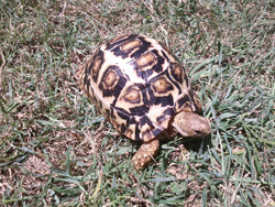 leopard tortoise profile body