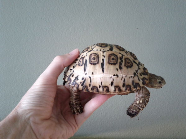 Smooth South African Leopard Tortoise