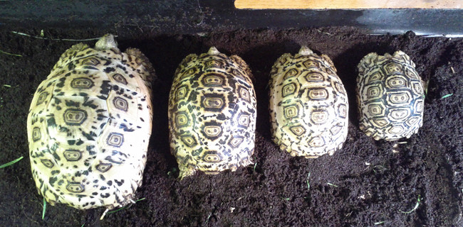 Leopard Tortoise Growth Rates